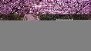 Fototapety drzewa wiśni